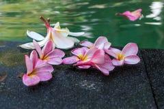Fiori del Frangipani nella piscina Isola di Bali fotografia stock libera da diritti