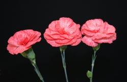 Fiori del garofano. fotografia stock libera da diritti
