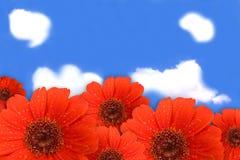 Fiori del Gerbera su cielo blu Fotografia Stock Libera da Diritti