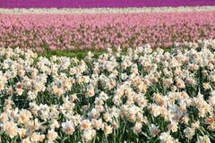 Fiori del giacinto e del narciso sul campo Fotografie Stock