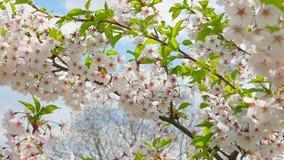 Fiori del giapponese sakura contro il cielo blu archivi video