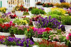 Fiori del giardino dei colori differenti in vasi Immagine Stock
