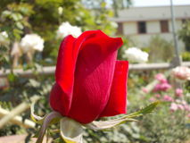 Fiori del giardino del campo da giuoco del ` s della natura Fotografie Stock