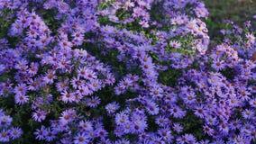 Fiori del giardino di autunno stock footage