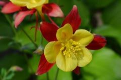 Fiori del giardino giallo e rosso di aquilegia in primavera Immagini Stock Libere da Diritti