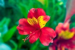 Fiori del giardino su un Alstroemeria verde del fondo Fotografia Stock Libera da Diritti