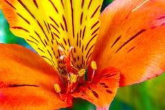 Fiori del giardino su un Alstroemeria verde del fondo Fotografie Stock