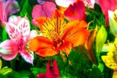 Fiori del giardino su un Alstroemeria verde del fondo Fotografia Stock