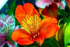 Fiori del giardino su un Alstroemeria verde del fondo Fotografie Stock Libere da Diritti