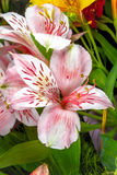 Fiori del giardino su un Alstroemeria verde del fondo Immagini Stock