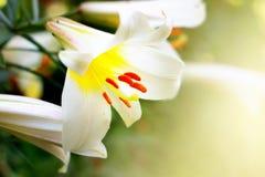 Fiori del giglio bianco immagini stock