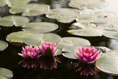 Fiori del giglio di acqua Fotografie Stock