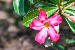 Fiori del giglio di impala che fioriscono sull'albero Fotografie Stock