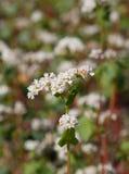 Fiori del grano saraceno Fotografie Stock
