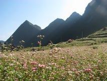 Fiori del grano saraceno del fiore Immagini Stock