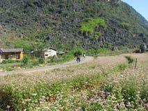 Fiori del grano saraceno del fiore Immagine Stock