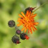 Fiori del Hawkweed arancione Fotografia Stock