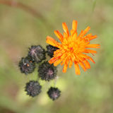 Fiori del Hawkweed arancione Fotografia Stock Libera da Diritti