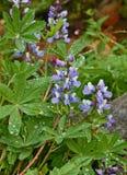 Fiori del lupino blu e bianco Fotografie Stock