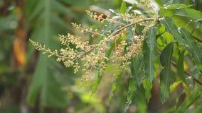 Fiori del mango che fioriscono all'estate stock footage