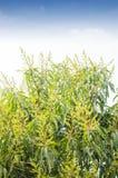 Fiori del mango con il cielo Fotografia Stock Libera da Diritti