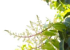 Fiori del mango dell'isolato Immagini Stock Libere da Diritti