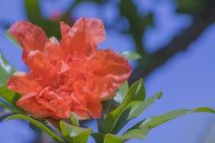 Fiori del melograno in fiori rossi del melograno della piena fioritura fotografia stock libera da diritti