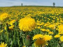 fiori del Morbido-cardo selvatico Immagine Stock Libera da Diritti