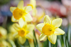 Fiori del narciso contro luce solare I petali gialli fioriscono la macro vista, profondità di campo bassa fondo molle e confuso Immagini Stock