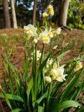 Fiori del narciso in foresta Immagini Stock