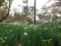 Fiori del narciso in foresta Fotografia Stock Libera da Diritti
