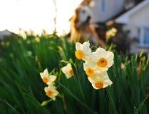 fiori del narciso nell'inverno Giappone Fotografie Stock Libere da Diritti