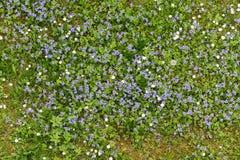 Fiori del nontiscordardime che fioriscono nell'erba verde fotografie stock libere da diritti