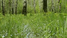 Fiori del nontiscordardime con le foglie verdi nel parco della città Erba fresca selvatica di fioritura Wildflower del miosotis stock footage