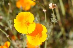 Fiori del papavero di California Immagini Stock