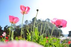 fiori del papavero di cereale sotto il cielo fotografia stock