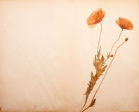 Fiori del papavero su documento fotografia stock