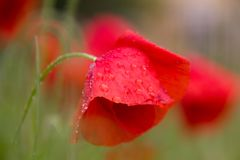 Fiori del papavero subito dopo una pioggia di molla fotografie stock libere da diritti