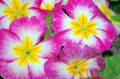 Fiori del Phlox del giardino Fotografie Stock