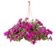 Fiori del POT di fiore di Surfinia Immagine Stock Libera da Diritti