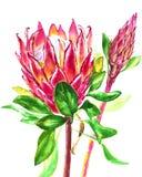 Fiori del protea dell'acquerello Illustrazione botanica floreale della decorazione di estate o della primavera Acquerello isolato Fotografie Stock