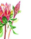 Fiori del protea dell'acquerello Illustrazione botanica floreale della decorazione di estate o della primavera Acquerello isolato Fotografia Stock Libera da Diritti