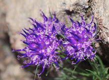 Fiori del rampion di Rhaetian (hedraianthifolium di Phyteuma) Immagine Stock Libera da Diritti