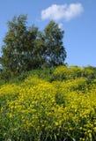 Fiori del ranuncolo alto ed alberi di betulla Immagini Stock