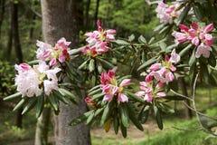 Fiori del rododendro alla molla Immagine Stock