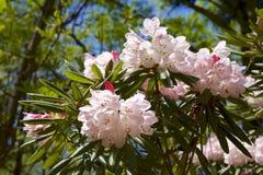 Fiori del rododendro alla molla Immagine Stock Libera da Diritti