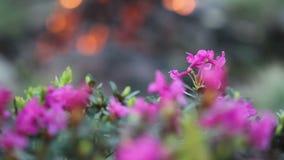 Fiori del rododendro con il falò stock footage