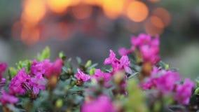 Fiori del rododendro con il falò archivi video