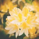 Fiori del rododendro di bellezza Fotografie Stock