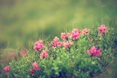 Fiori del rododendro in natura Immagini Stock